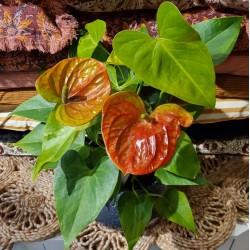Anthurium bicolore saumon